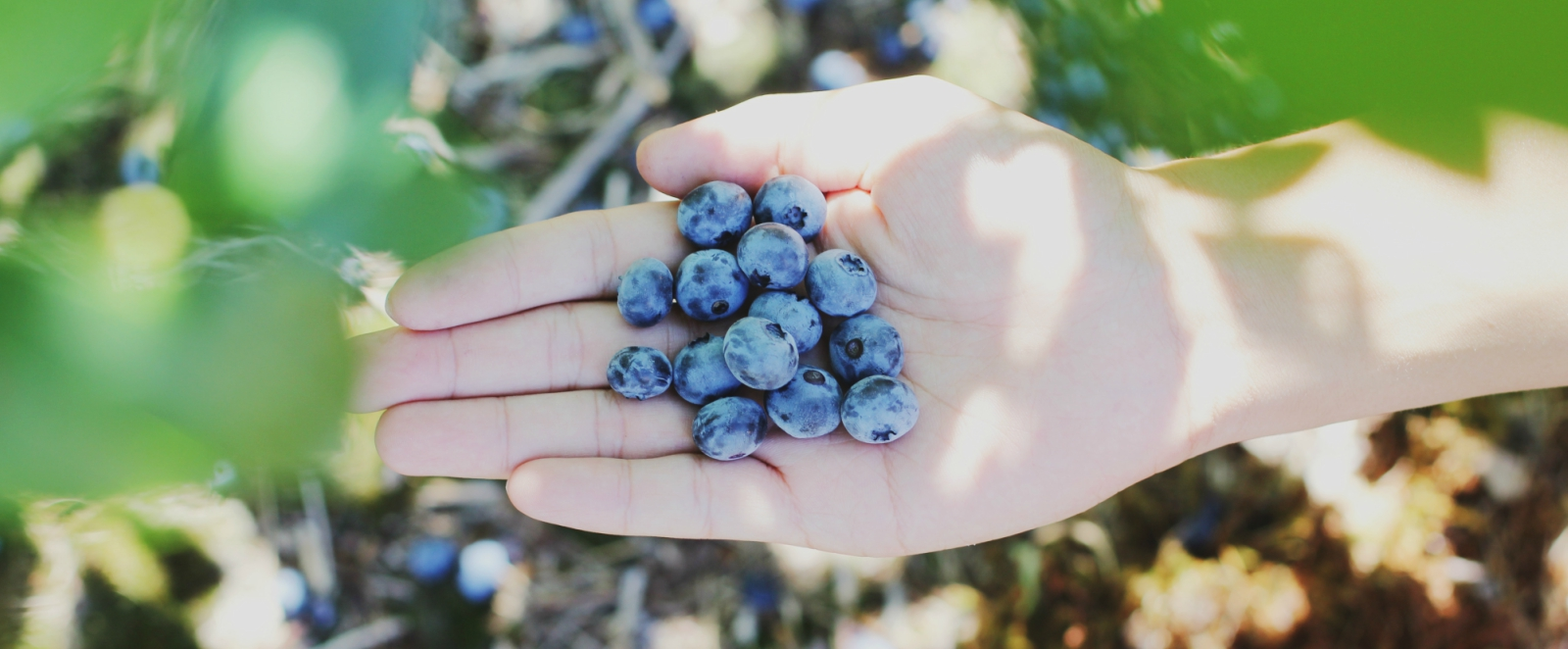 blueberry-blog.jpg