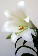 Easter Lily 4-2011